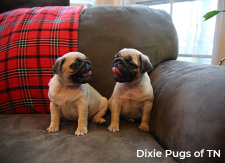 Dixie Pugs of TN puppies